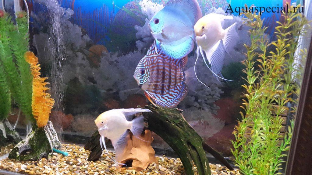 Совместимость рыбок в аквариуме. Белые скалярии фото