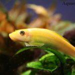 Гиринохейлус содержание, описание с фото, размножение. Водорослееды в аквариуме