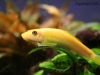 Гиринохейлус золотой — китайский водорослеед