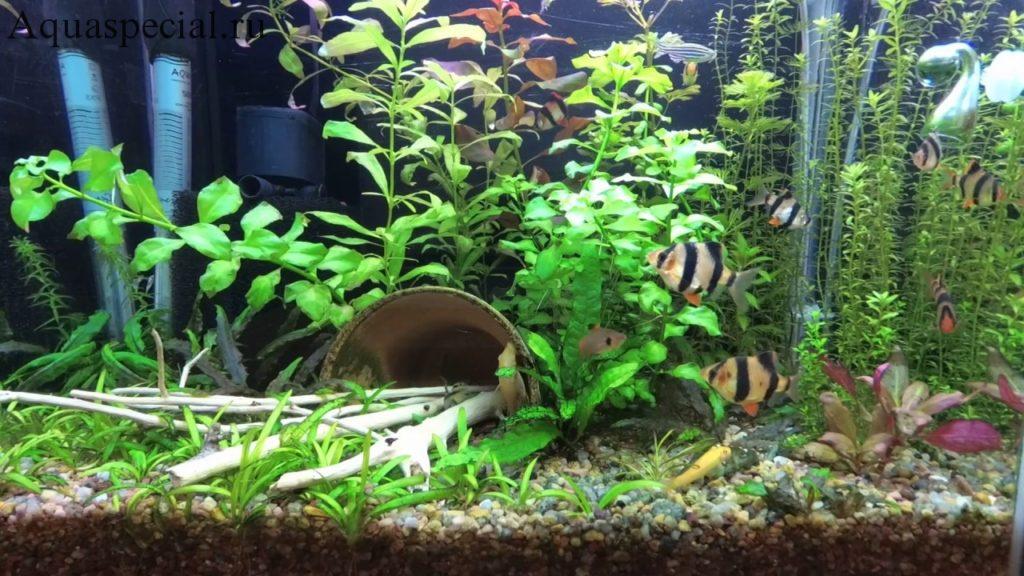 Совместимость гиринохейлусов в аквариуме с другими рыбками