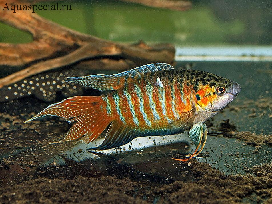 Рыбка макропод, содержание, описание с фото, размножение, виды
