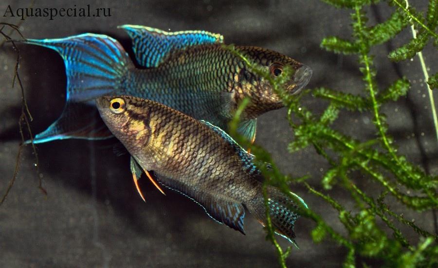 Отличие самки от самца макропода. Половые различия рыб