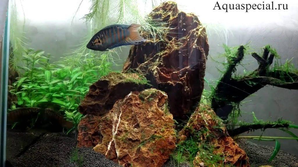 Биотоп фото. Макроподы в аквариуме. Аквариум с макроподами
