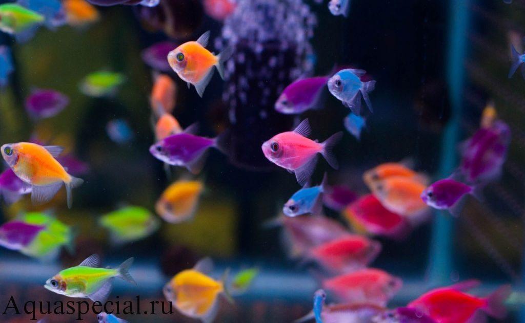 Содержание тернеций в аквариуме