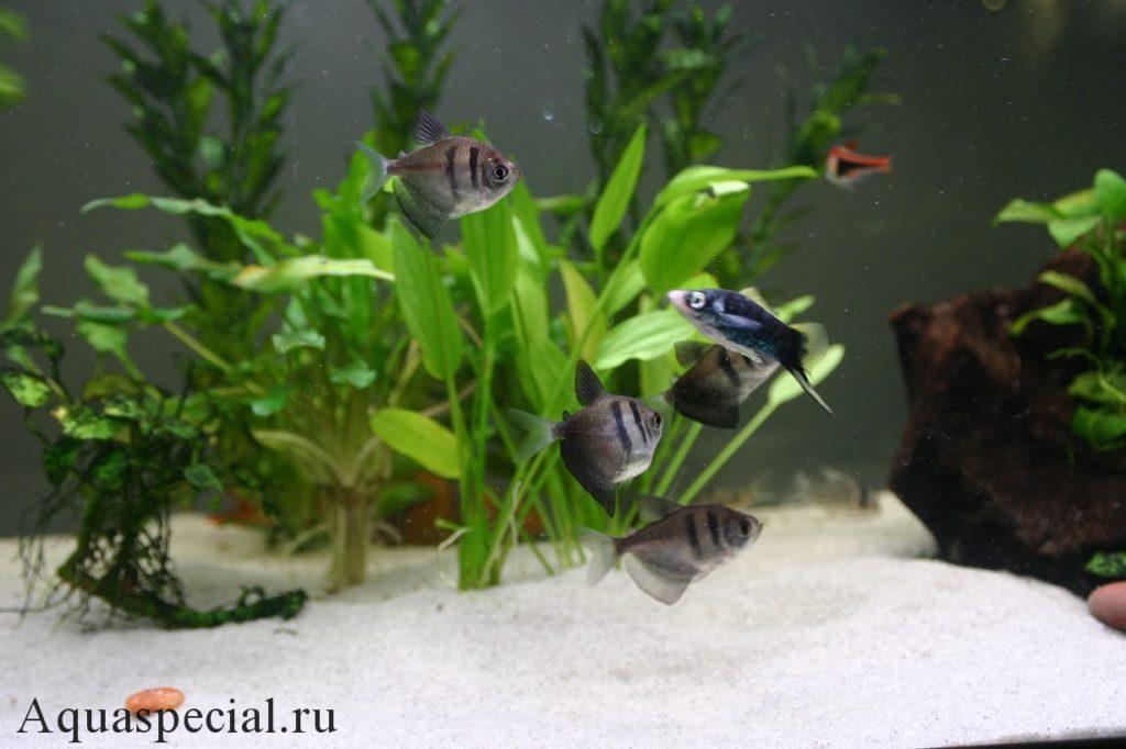 Совместимость тернеций в общем аквариуме с другими рыбками