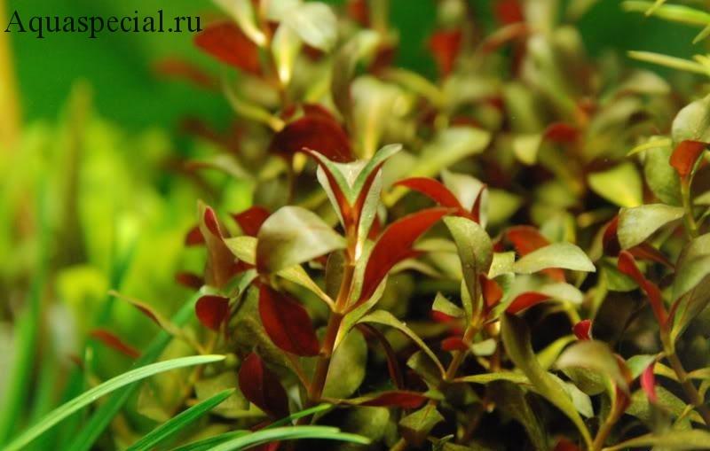 Людвигия перуанская даймонд. Ludwigia Peruensis