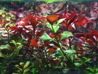 Людвигия: популярные виды, содержание в аквариуме