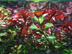 Аквариумное растение людвигия описание с фото, содержание, размножение, виды