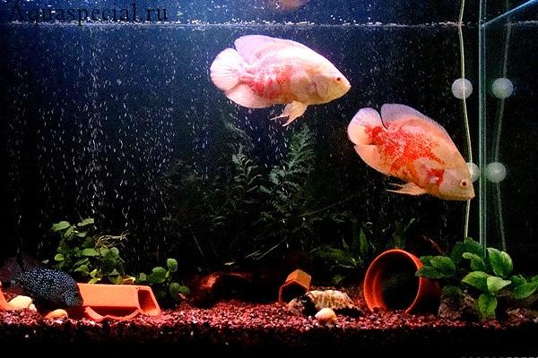 Цихлиды альбиносы в аквариуме
