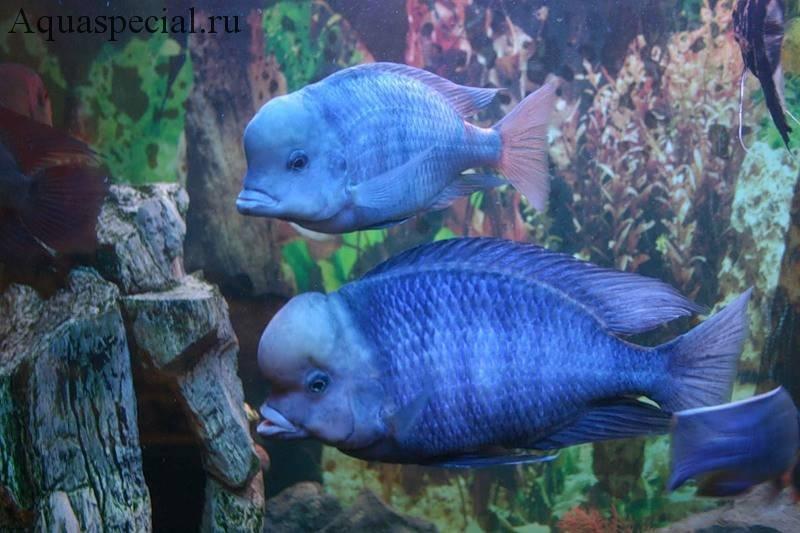 Голубой дельфин отличие самки от самца