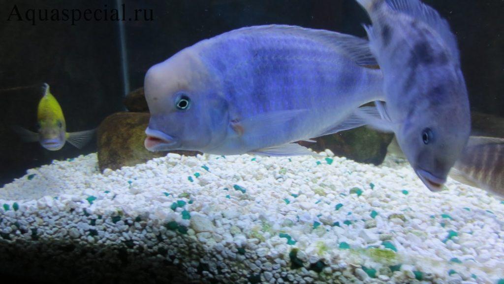 Содержание цихлид в аквариуме