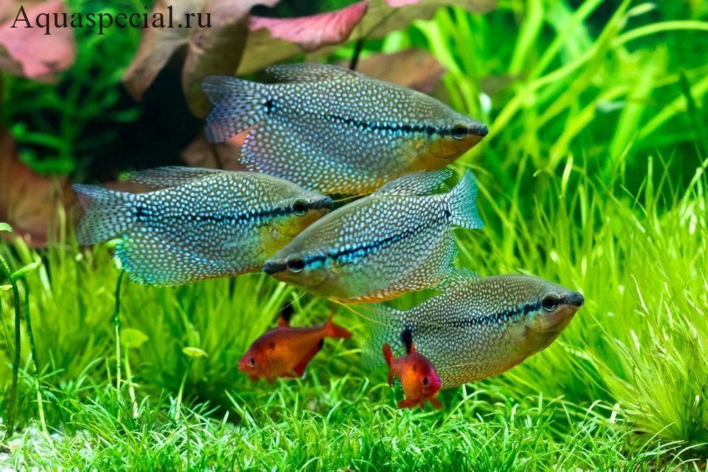Гурами-нитеносцы. Совместимость жемчужных гурами в аквариуме