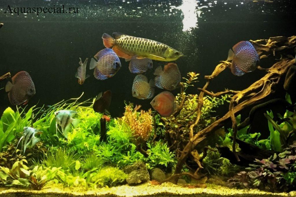Цихлиды в аквариуме. Дискусы. Скалярии