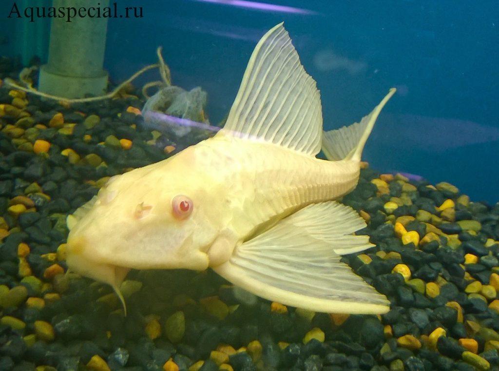 Птеригоплихт альбинос