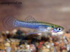Рыбка гамбузия фото