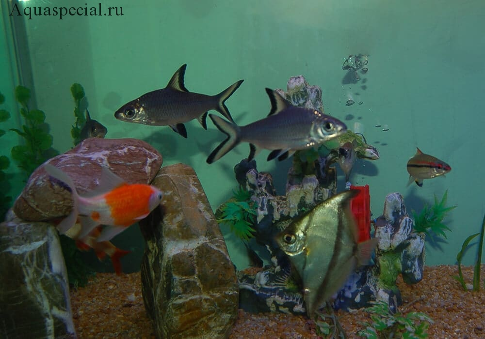 Рыба балу совместимость в аквариуме