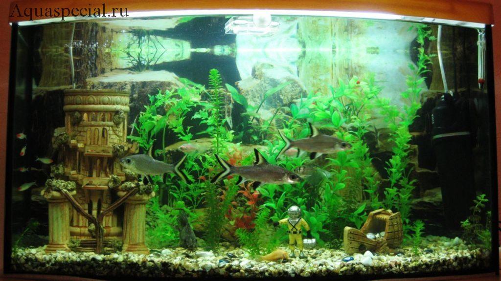 Акулий барбус в аквариуме