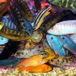 Малавийские цихлиды