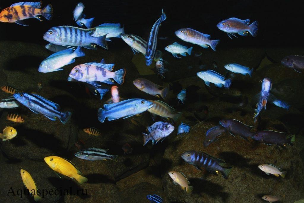 Цихлиды озера Малави
