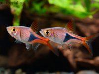 Рыбка Расбора: видовое разнообразие, содержание и уход
