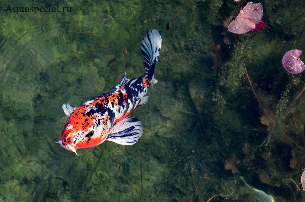 Каких рыб держать в пруду?