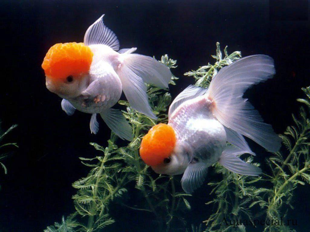 Оранда в аквариуме