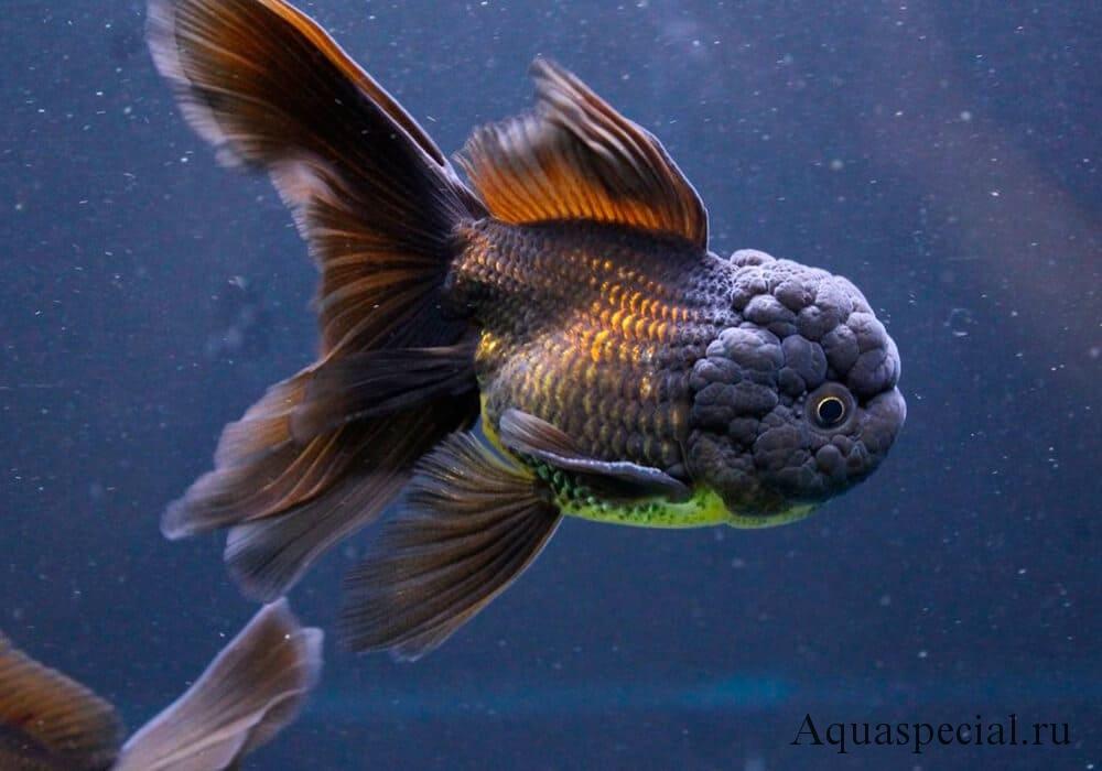 Черная оранда или рыба ежевика