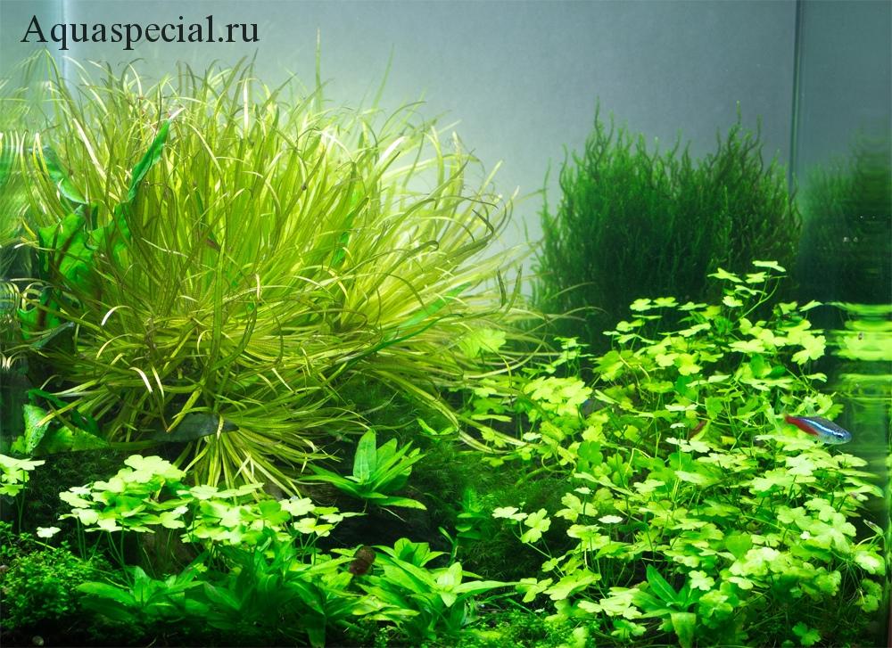 Щитолистник в аквариуме
