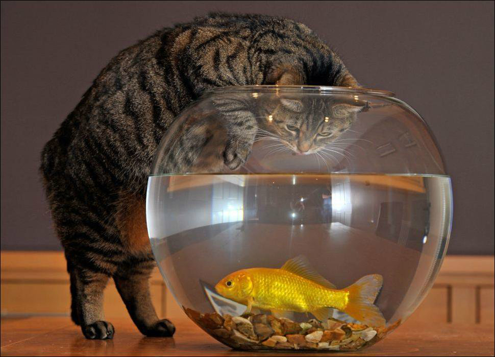 Круглый аквариум с золотой рыбкой