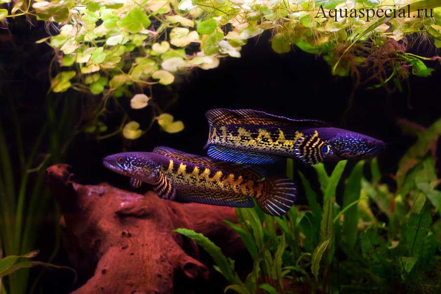Хищники в аквариуме
