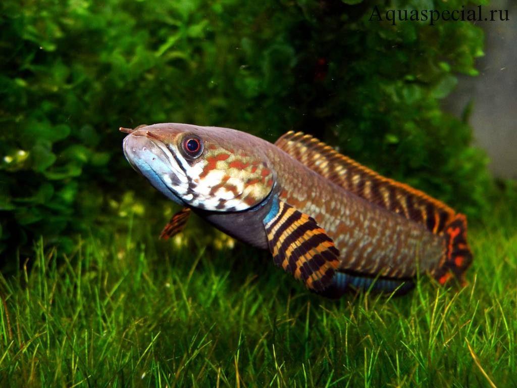 Необычные аквариумные рыбки