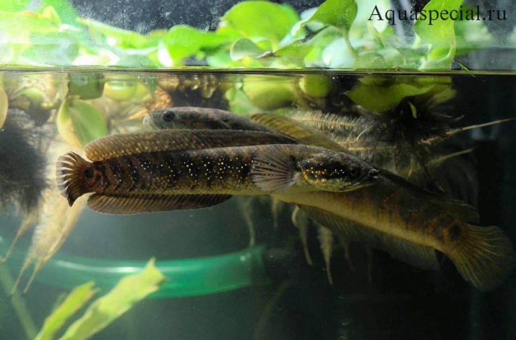 Размножение и нерест хищных рыб