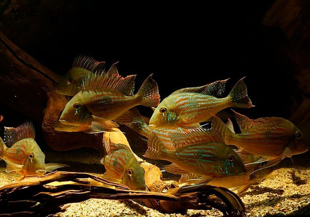 Аквариум цихлидник