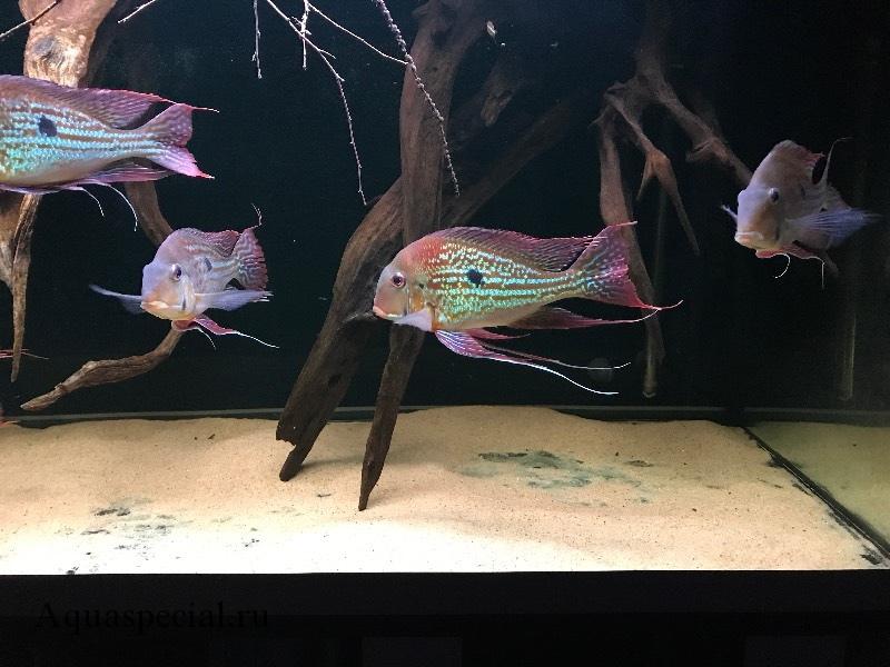 Содержание геофагусов в аквариуме