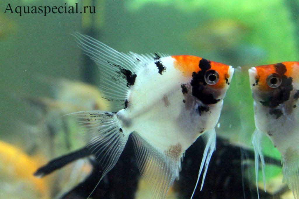Скалярии в аквариуме, уход и содержание