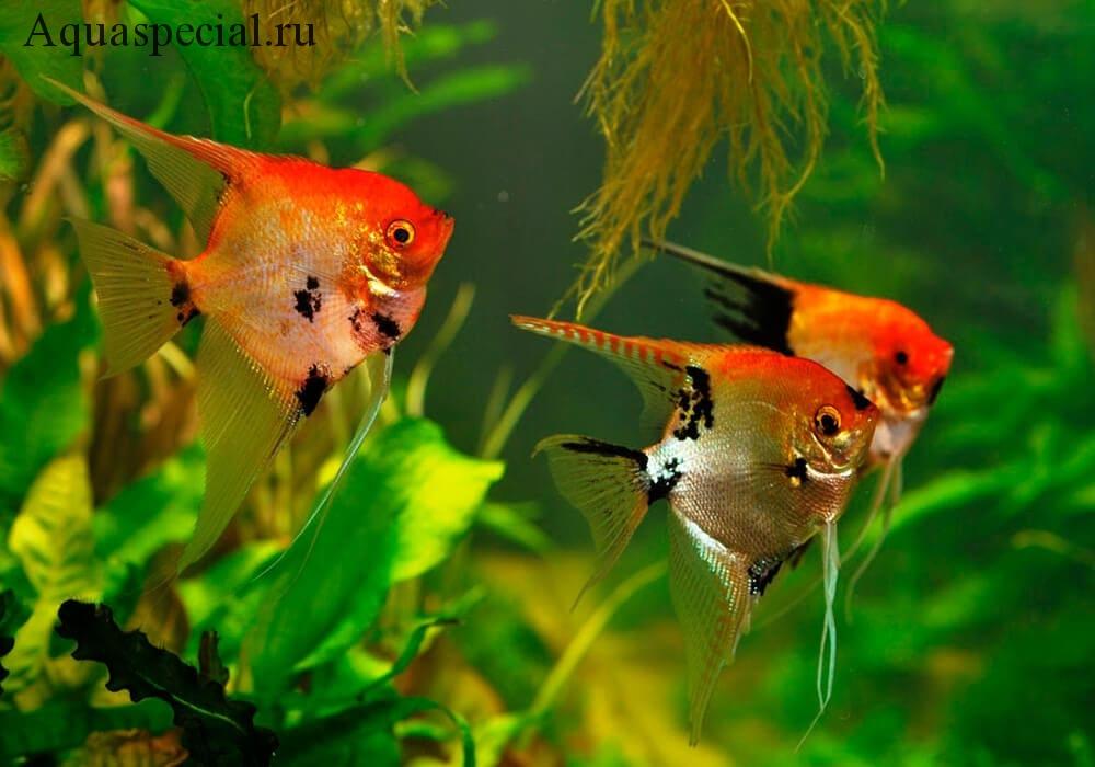 Содержание скалярии в аквариуме