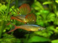 Ириатерина Вернера – необычный представитель семейства радужных рыб