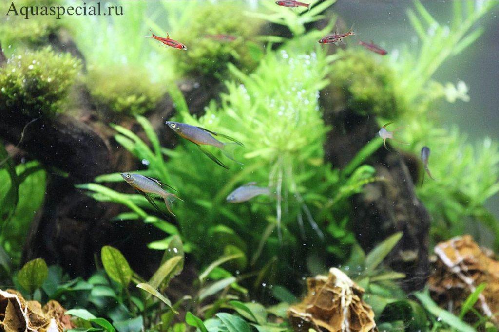 Радужницы в аквариуме. Радужные рыбы