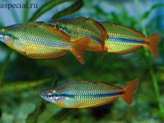 Рыбка радужница. Стайка радужниц в аквариуме