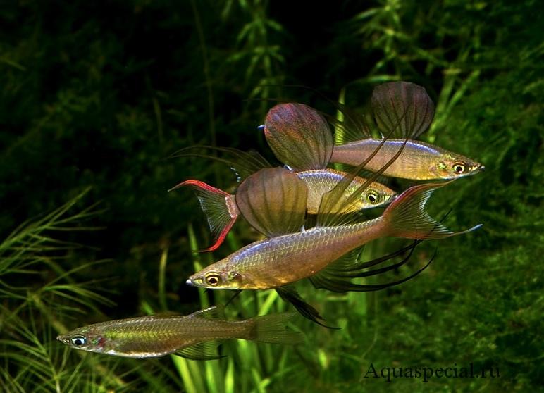 Ириатерина вернера. Семейство меланотениевые (радужные рыбы)