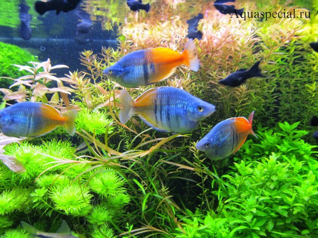 Радужные рыбы совместимость