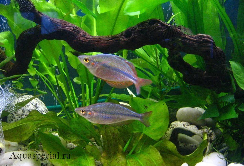 Меланотения в аквариуме ((Melanotaenia)
