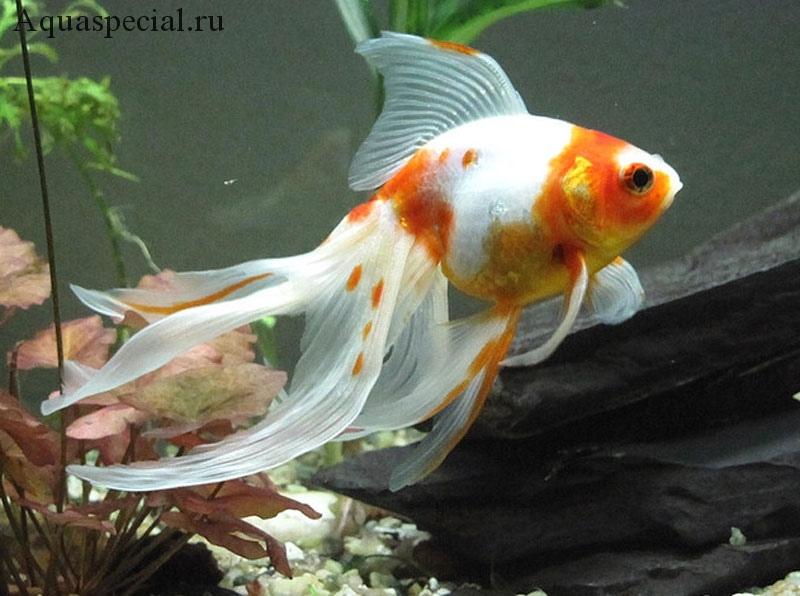 Аквариумная рыбка вуалехвост