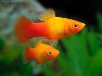 Пецилия: содержание и уход аквариумной рыбки, совместимость, виды