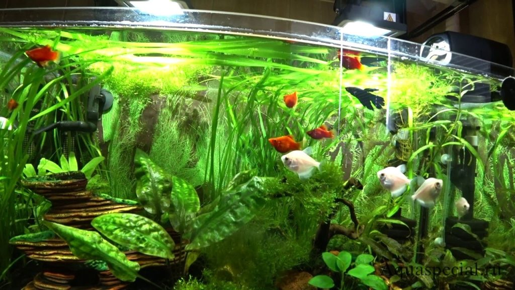 Живородящие рыбки в аквариуме