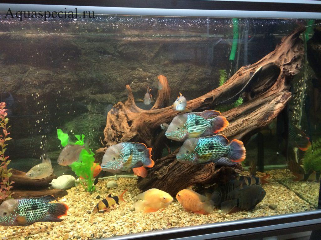 Цихлиды в аквариуме. совместимость акары бирюзовой
