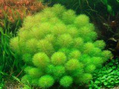 Лимнофила в аквариуме
