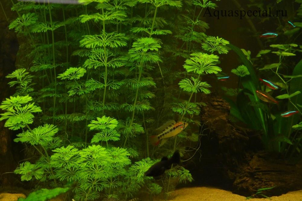 Неприхотливые аквариумные растения. Амбулия а аквариуме