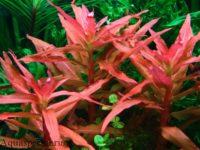 Аммания: виды, содержание и уход в аквариуме