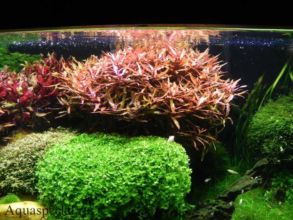 Неприхотливые аквариумные растения. Дизайн и оформление аквариума травника